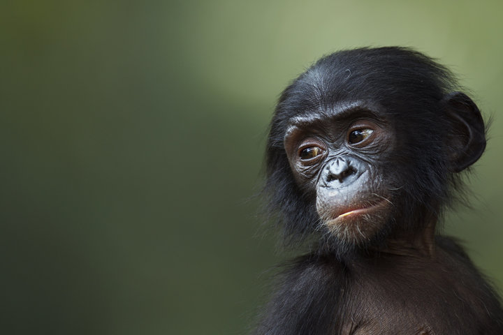 Another smart ape that relies on instincts/intuition... a young Bonobo from the Congo Basin