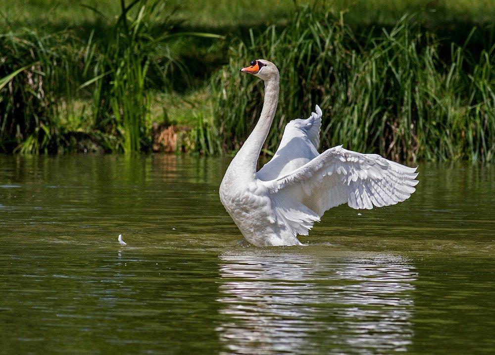 swan-359931_1920.jpg