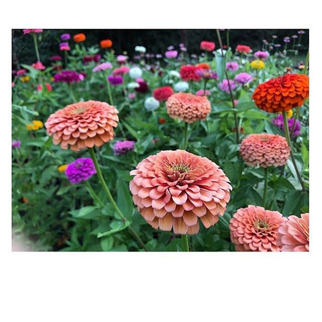 A summer favorite and staple—@ouronewildacre is churning out those zinnias!
