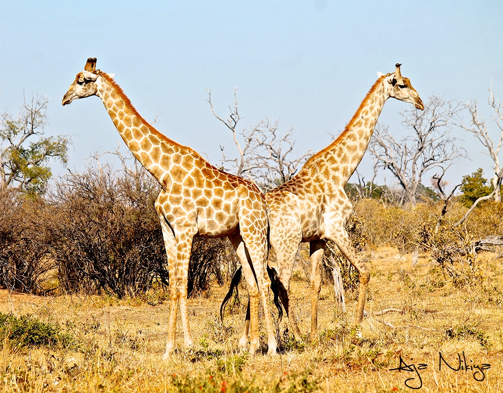 giraffesbut copy.jpg