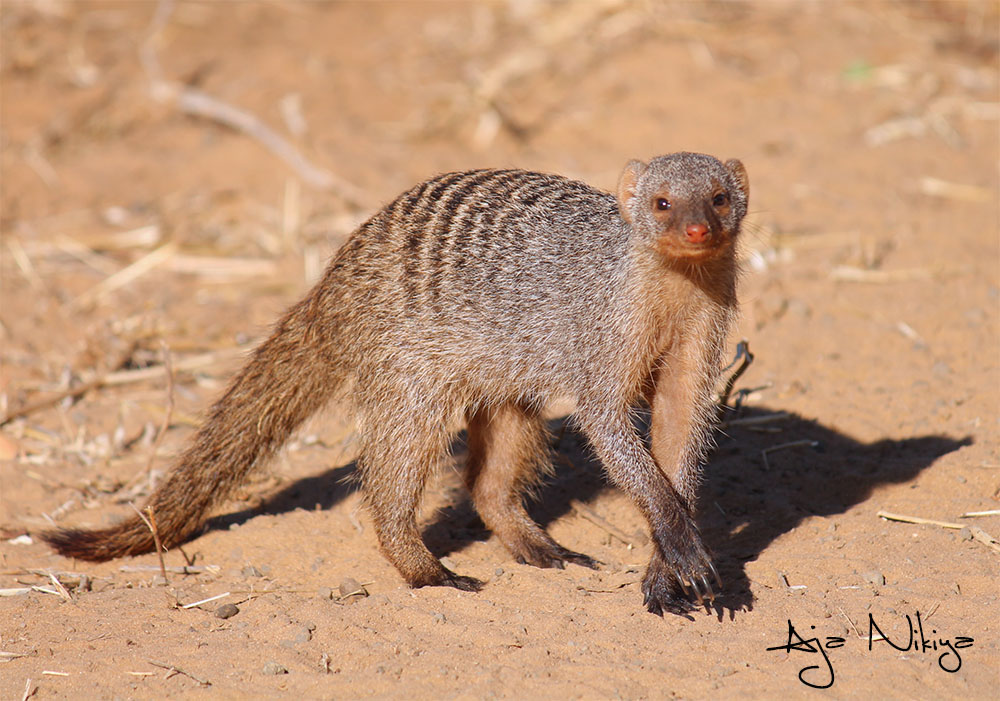 Mongoose_Final.jpg