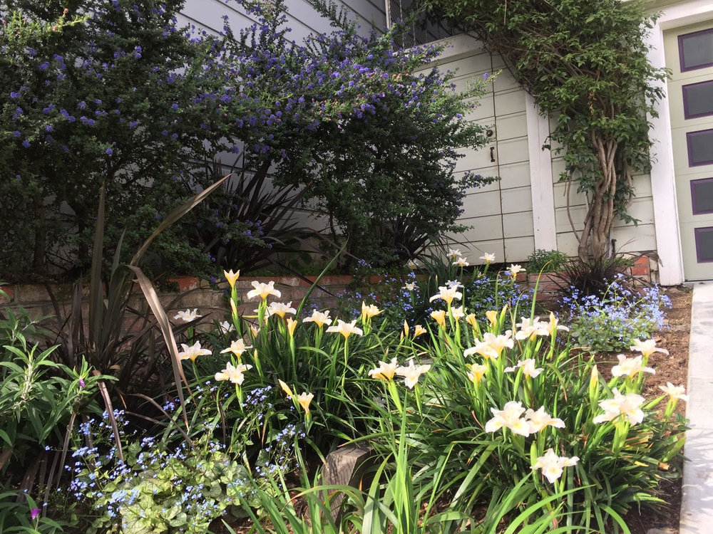 Castro Street front yard with an impressive array of ceanothus and iris in flower