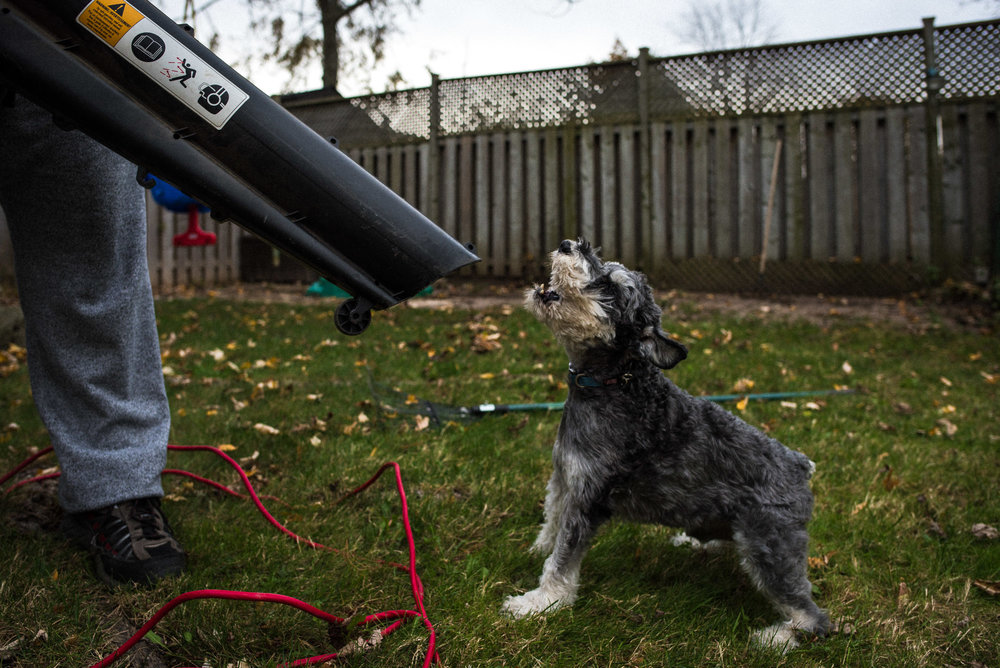 terrier dog looks up directly at leafblower
