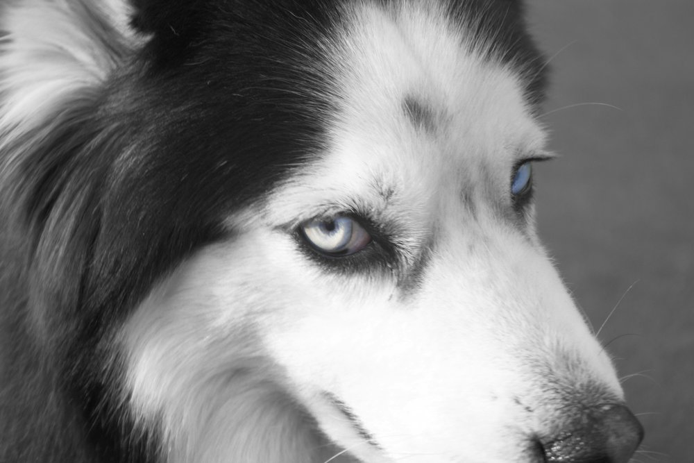 dog eyeBW.jpg