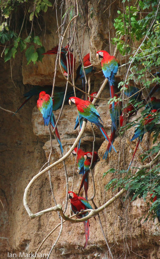 Scarlet Macaws, photo credit Ian Markham