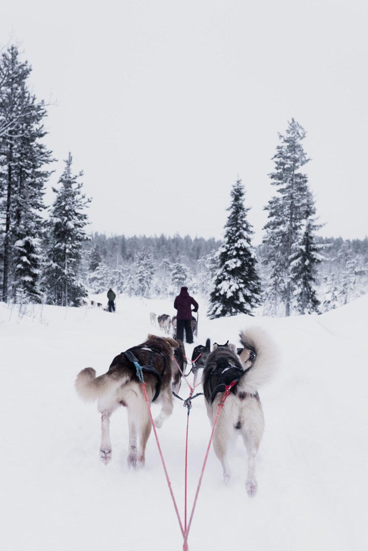 Drive a dog sled