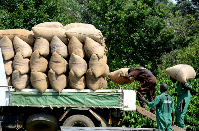 Loading cocoa for export