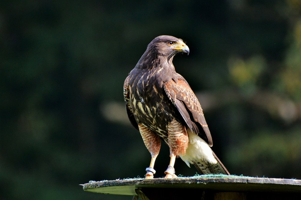 peregrine-falcon-3023839_1280.jpg