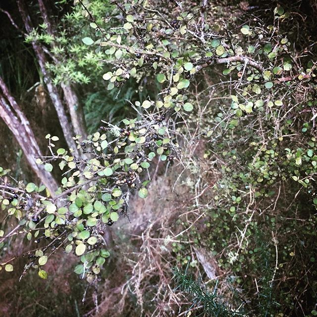 Mingimingi in season #nativeberries #aotearoa #bushwalk