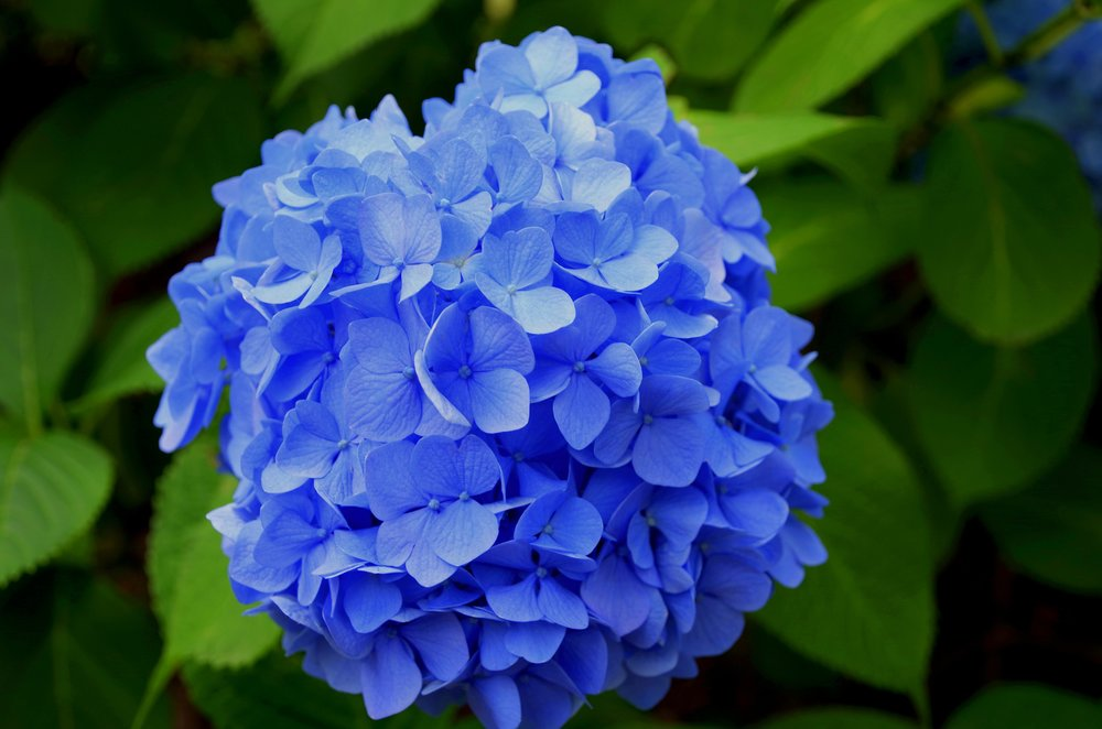Winterizing your hydrangea: - Water your hydrangea well before frost. Do not fertilize.Mulch your hydrangea well to protect the crown. You can mulch with leaves or straw. Put a protective barrier around your hydrangea and wrap it with burlap.