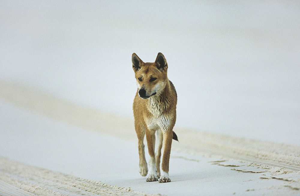 Dingo Wild Awareness pic.jpg