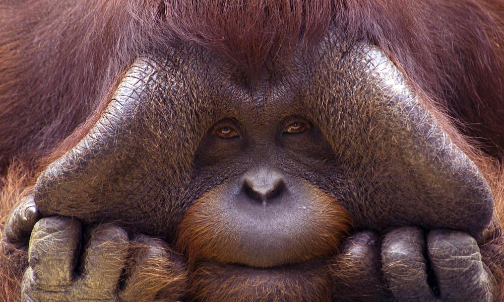 Bornean_Orangutan_8.1.2012_whytheymatter1_HI_279157 copy.jpg