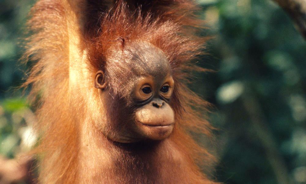 Bornean_Orangutan_8.1.2012_whytheymatter2_HI_18817 copy.jpg