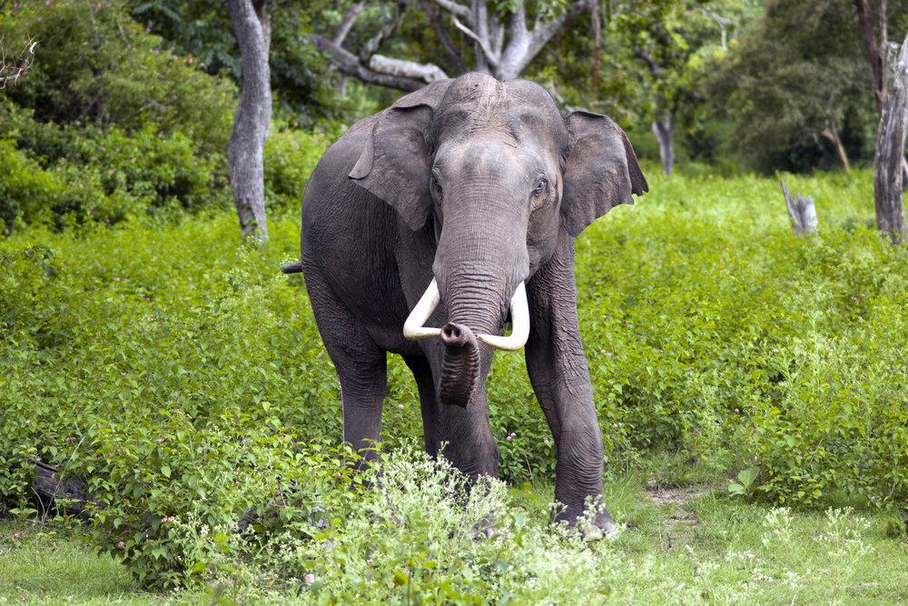 Elephas_maximus_(Bandipur) copy.jpg