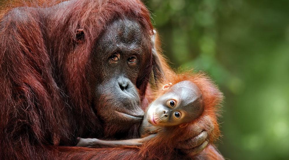 Image of: Threatened Istock899748046 Copyjpg Betterplace Orangutan Caring Week How To Give Monkeys Critically