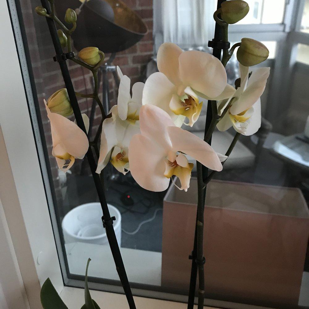 Vit orkidé