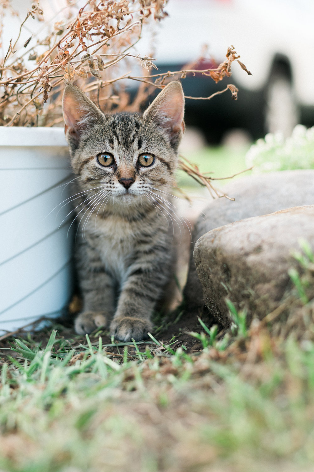 Tiny tabby kitten with brown eyes stands in between a rock and a dying potted plant.