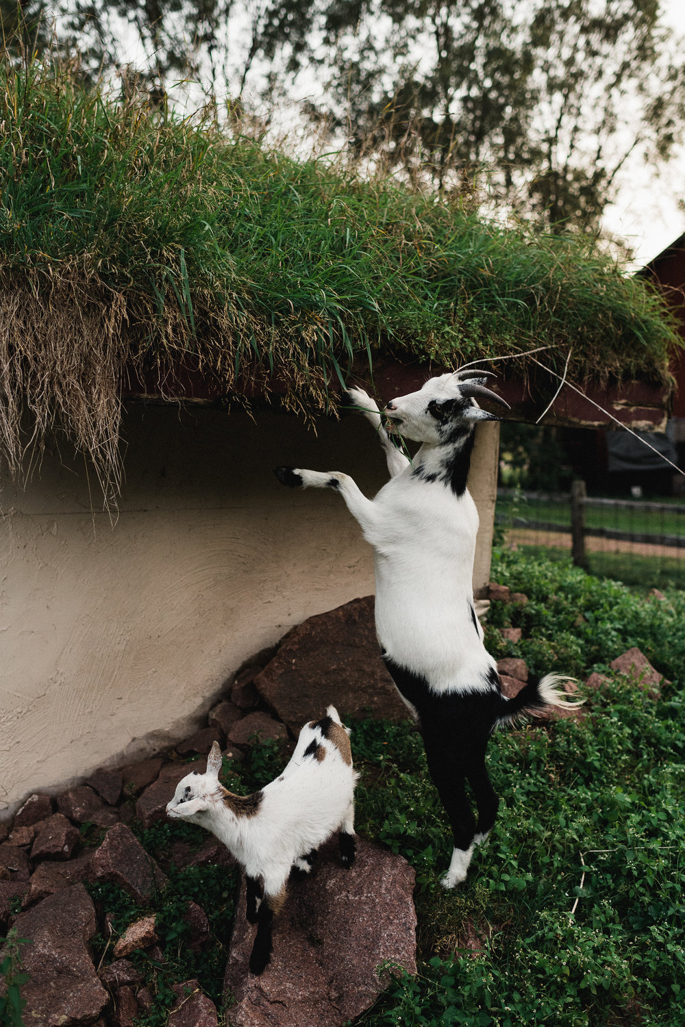 A black and white goat stands on its hind legs to eat grass off of a rooftop.