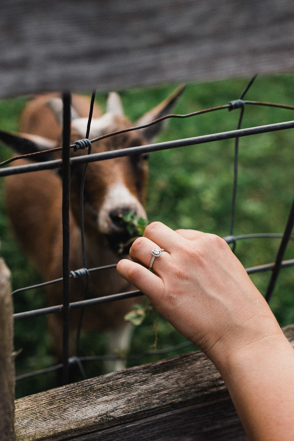 Woman shows her engagement ring as she feeds grass to a goat through a chain link fence.