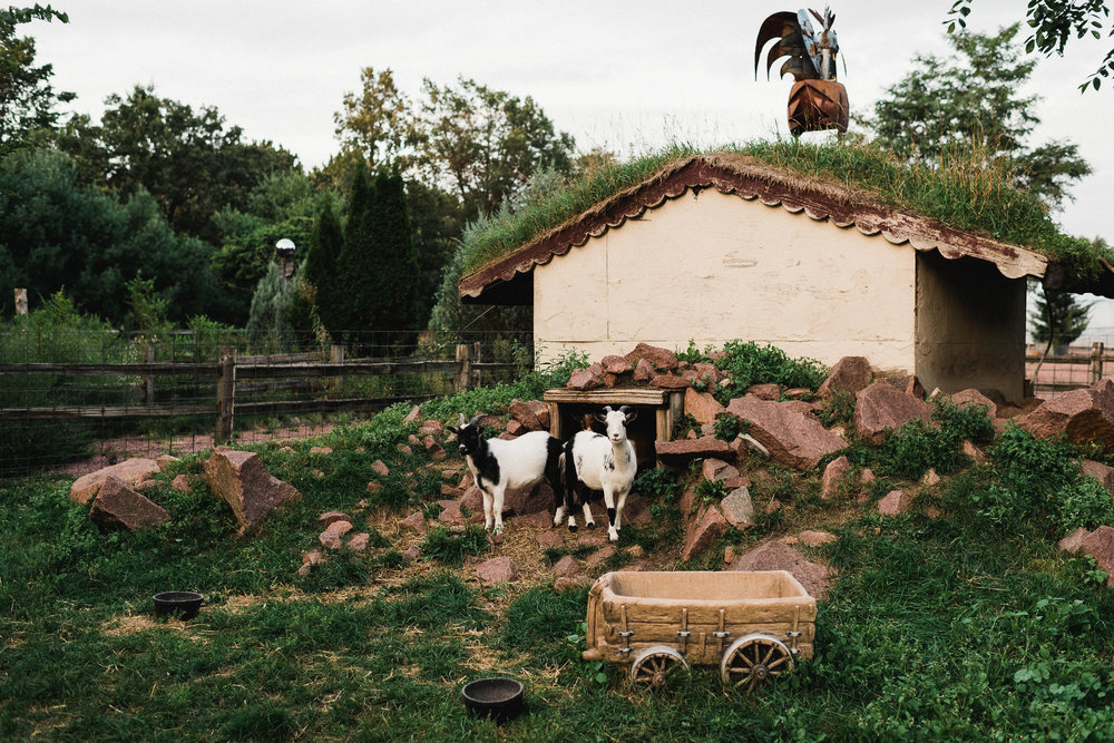 Two goats pose for the camera in front of a shelter with grass on the rooftop.