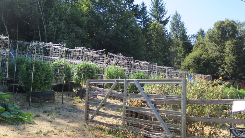 At Humboldt Edge Farm, near the Trinity County border, Matt Nagel and Sam Shull have a postcard view of the Trinity River. They've renamed their Green Crack, Afcrack, and Agent Orange plants, which they call Venus, Aphrodite, and Orange Mango. They also grow a strain called Purple Panty Dropper that has an intensely sweet grape candy aroma and flavor.