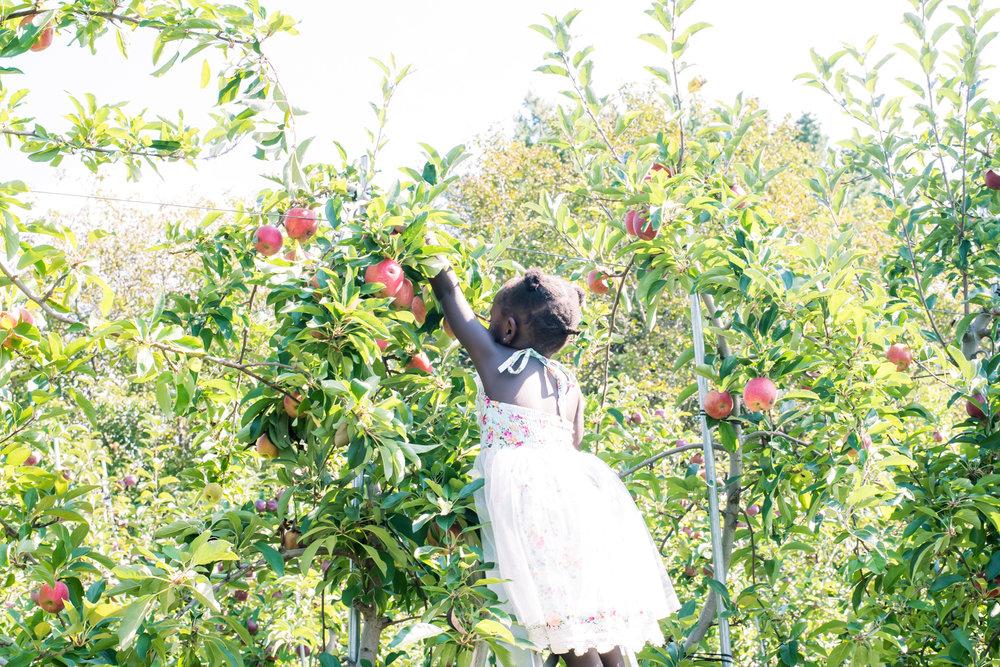 Picking Honey Crisp Apples at Honey Pot Farm (26 of 1).jpg