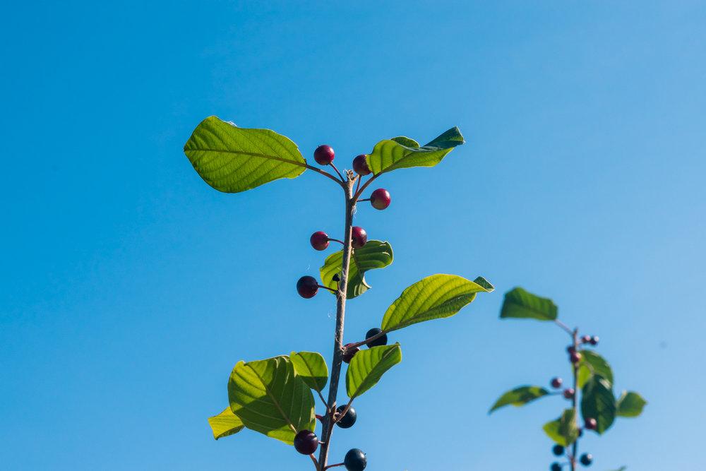 Wild Berries in Fall at Powers Farm Randolph MA (9 of 1).jpg