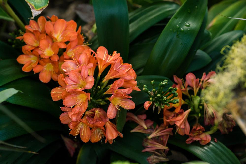 Orange Flowers at Roger Williams Botanical Garden  (6 of 1).JPG