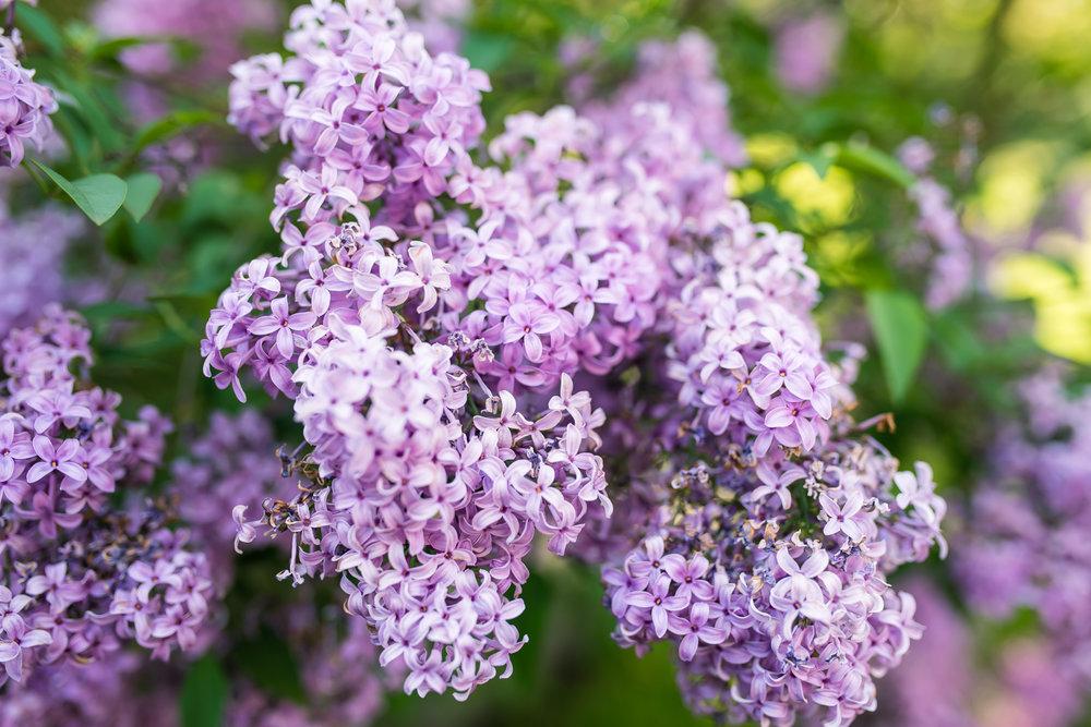 Lilacs at Eleanor Bradley Estate Canton MA (7 of 1).JPG