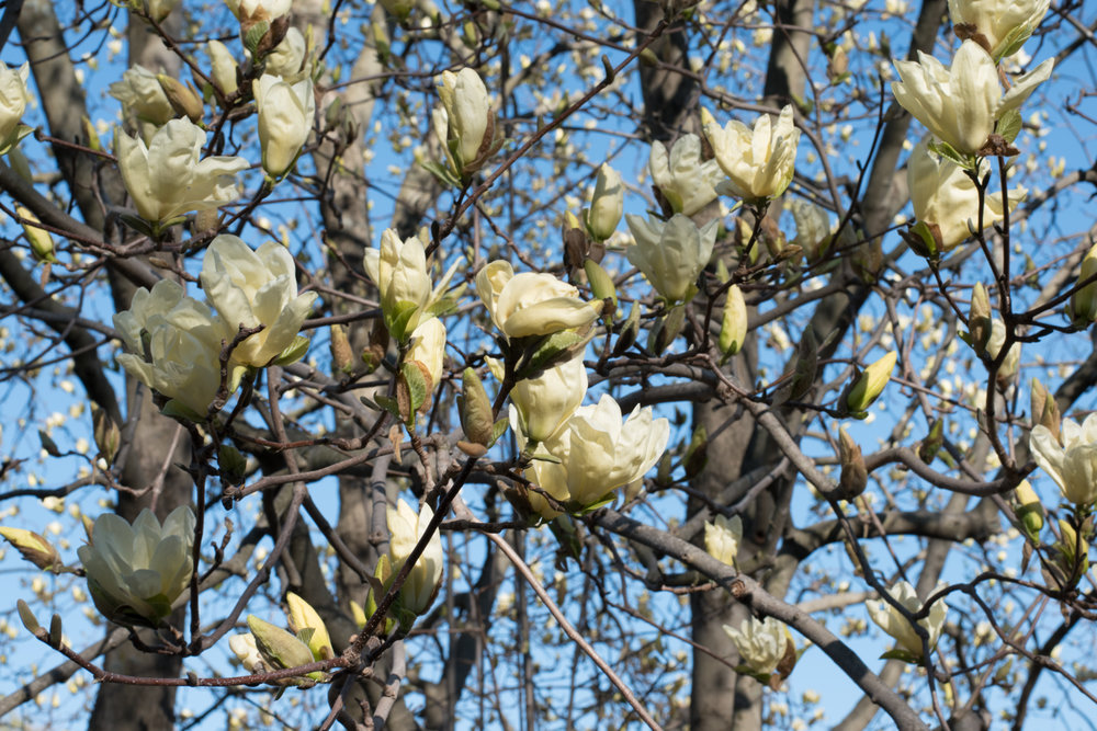 Magnolias at Arnold Aboretum Jamaica Plain Boston (9 of 1).JPG