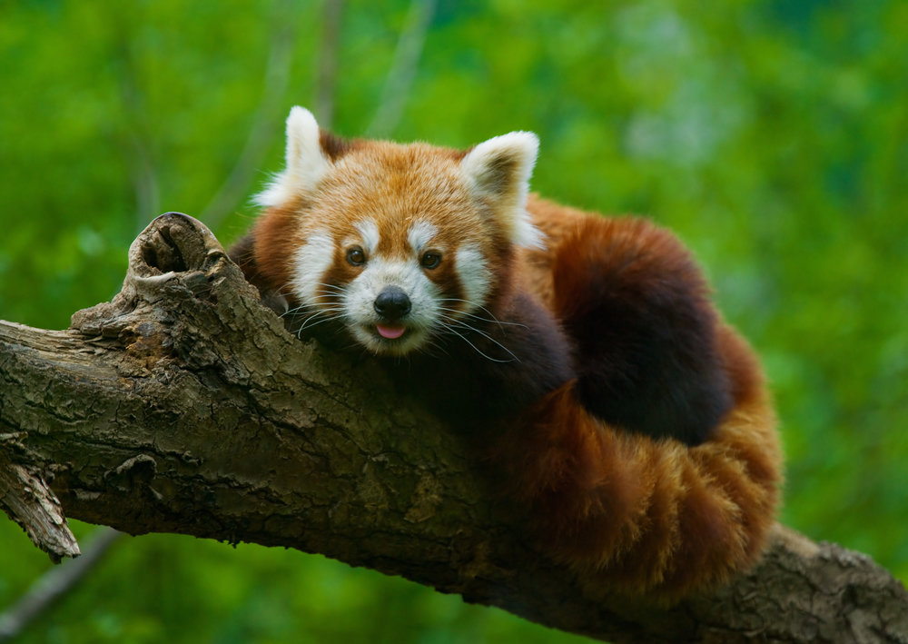 red panda in tree.jpg