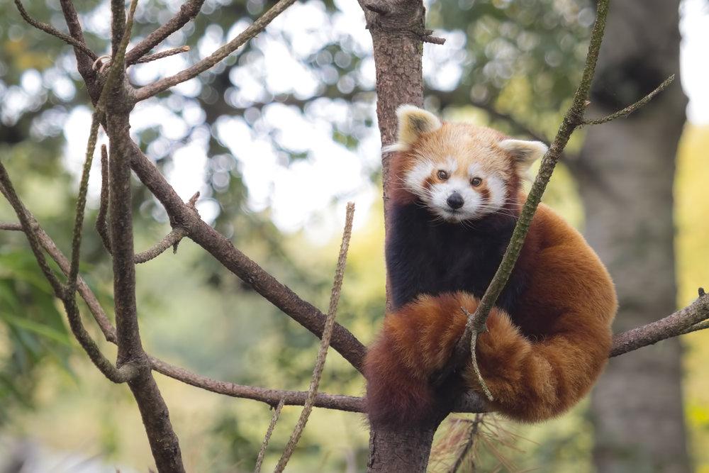 red panda April.jpg