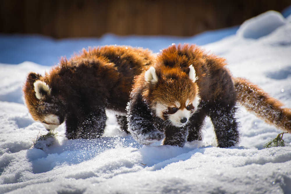 red panda snow.jpg