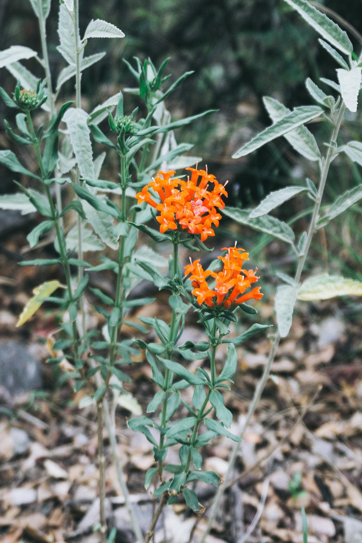Firecracker Bush (Hamelia patens)