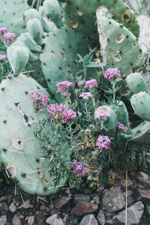 Silky Eremophila (Eremophila nivea)
