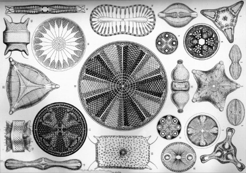 Las diatomeas son algas unicelulares que forman una proporción importante del fitoplancton. Poco queda de sus espectaculares diseños después de que el tiempo, la presión y las elevadas temperaturas las transforman en hidrocarburos. Ilustración de Ernst Haeckel.