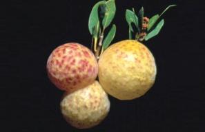 Agalla3(manzana)