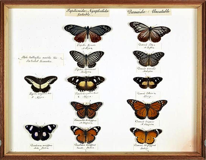 Mariposas colectadas por Wallace en el siglo XIX. Imagen del acervo digital de Wallace del Natural History Museum. © The Natural History Museum, London