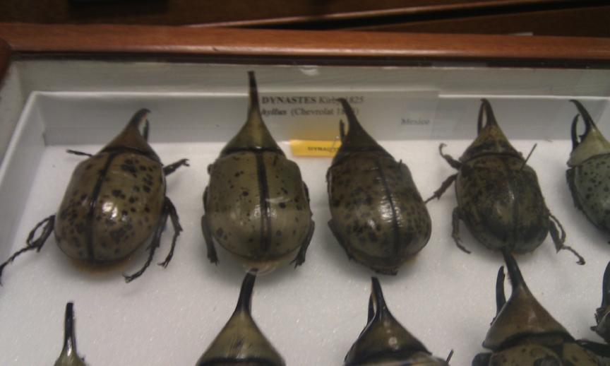 Dynastes hyllus de México. Estos escarabajos alcanzan los 3.5 -7.5 cm de largo. Viven en bosques mesófilos, que son de los ecosistemas más amenazados del país, sólo quedan fragmentos pequeños en Veracruz, Puebla, Oaxaca y Chiapas.