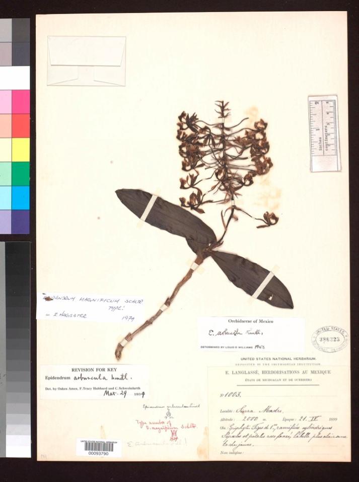 Imagen del Herbario Virtual de la CONABIO del holotipo de la orquídea Epidendrum magnificum colectado en 1899 .