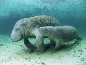 Fotografía del sitio animalscamp.com que muestra a una manatí con su cría amamantándose. Los pezones de estos animales se encuentran por debajo de sus aletas