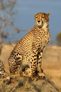 Chita (imagen tomada de Wikipedia)