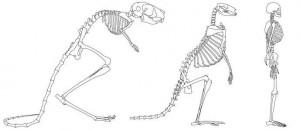 Imagen que muestra la comparación de los esqueletos de tres mamíferos que caminan en dos patas: el jerbo de Egipto, un canguro y un humano. Tomado de la nota fuente.
