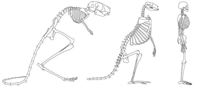 Sí hay una relación entre la anatomía del cráneo y el caminar en dos ...