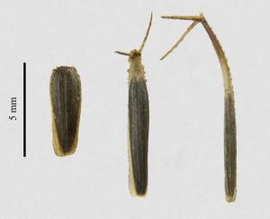 distintos tipos de semillas que produce Heterosperma pinnatum. A la izquierda observamos una semilla sin estructuras de dispersión, las cuales usualmente se encuentran de 10 a 20 cm de su madre. A la derecha se observan dos semillas con estructuras dispersión, las cuales se adhieren al pelaje de los animales. (Tomada por LFVV Boullosa)