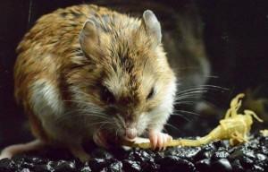 El ratón saltamontes saboreando su presa favorita, el temido alacrán de corteza. (Foto: Ashleen y Matthew Rowe.