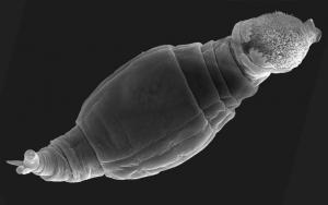 Un rotifero (tomado de la nota en Science)