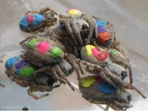 Las arañas Stegodyphus sarasinorum marcadas con colores según sus personalidades, tomada por la misma Lena Grinsted. Es en estas fotos donde se lamenta la falta de escudos de armas.