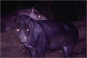 Un macho (al frente) y una hembra de Tapirus kabomani. (Imagen tomada de la nota fuente).