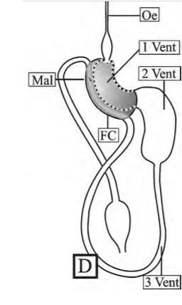 Figura 2. El intestino enroscado del psílido  B.cockerelli  (imagen adaptada de Cicero, JM, et al, 2009). Oe: esófago, FC: cámara de filtrado, Mal: Túbulos de malpigio. 1-3: ventrículos del intestino.